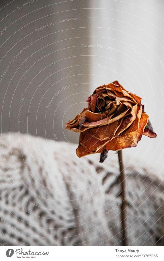 Getrocknete Rose in einer Hygge-Atmosphäre Dekoration & Verzierung Blumen getrocknet geblümt Stillleben Herbst Innenbereich gemütlich Trockenblume Lifestyle