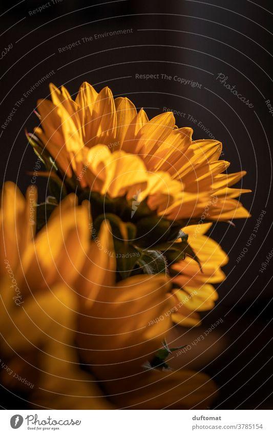 Macro Aufnahme einer Sonnenblume Sonnenblumenkern gelb Blume Blüte Blütenblätter Pollen Blütenstempel Pflanze Natur Sommer Nahaufnahme Garten Makroaufnahme