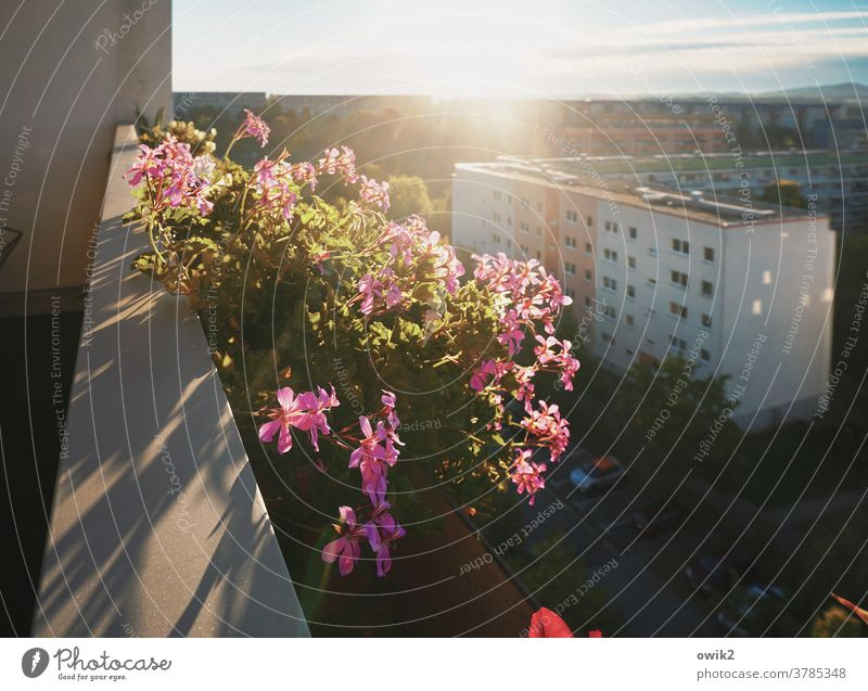 Blumen im Beton Balkon Balkonpflanze Blüte Schönes Wetter Topfpflanze Pflanze Natur Wachstum glänzend nah Idylle Farbfoto Hoffnung standhaft Leben Außenaufnahme