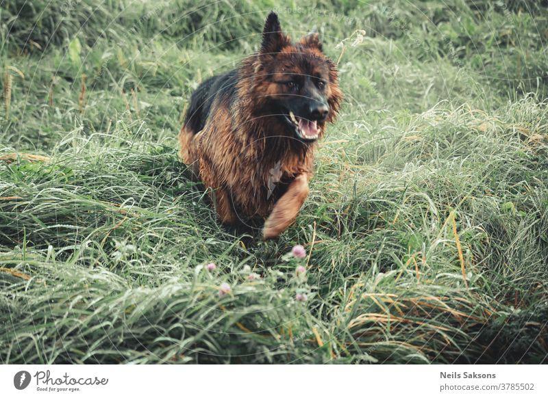 Deutscher Schäferhund Hund Haustier Tier Farbfoto Tierporträt Außenaufnahme 1 Natur beobachten Wiese Tag Wachsamkeit Landschaft Gras Schutz Fell Hirtenhund
