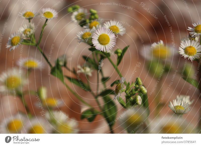 gelb-weiße Blütenblume (Einjähriges Berufkraut - Erigeron annuus- oder doch Kamille) Pflanze Blume Kamillenblüten Falsche Kamille Nahaufnahme