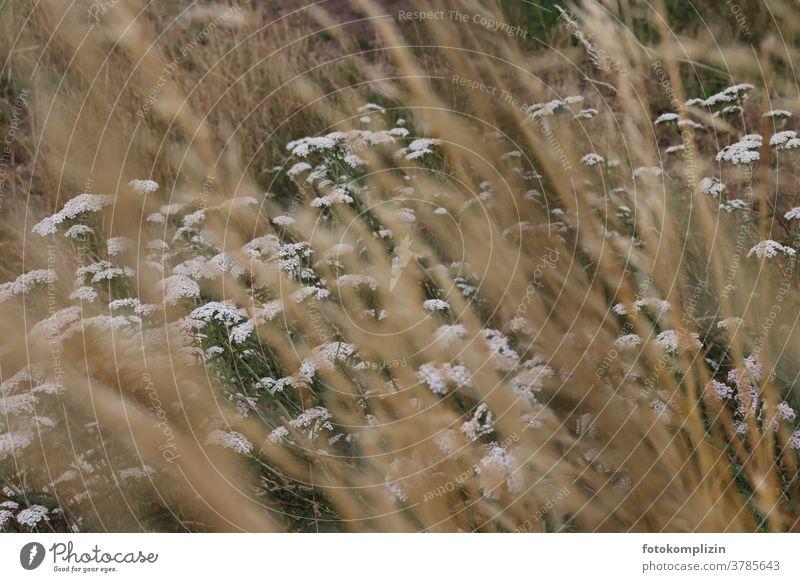 weiße Wiesenblumen mit unscharfen Grashalmen im Vordergrund Schafgarbe Gewöhnliche Schafgarbe Blumen Feldrand Feldblumen Heilkräuter Blühend Pflanze Blüte Natur