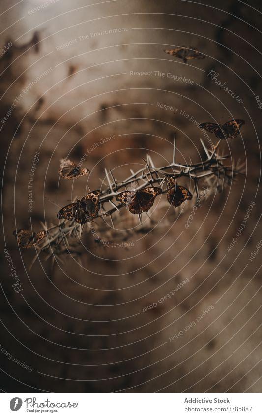 Schmetterlinge und Dornenkrone Krone Stachel stechend Spitze Gefahr zerbrechlich Konzept verwundbar dramatisch Fliege Natur Umwelt Fauna behüten Leben Faser