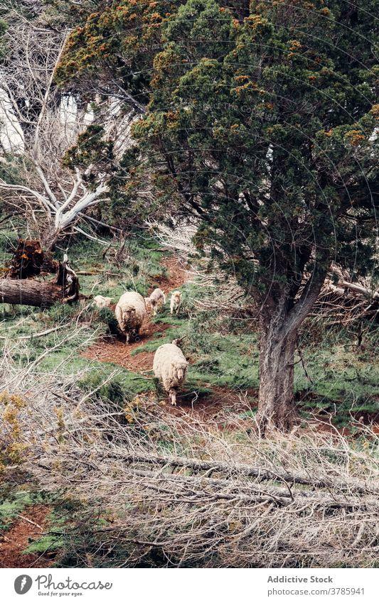 Niedliche Schafe grasen zusammen auf der Wiese weiden Weide Hügel Herde Berghang heimisch Fussel Tier Patagonien Südamerika Säugetier Natur Landschaft Umwelt