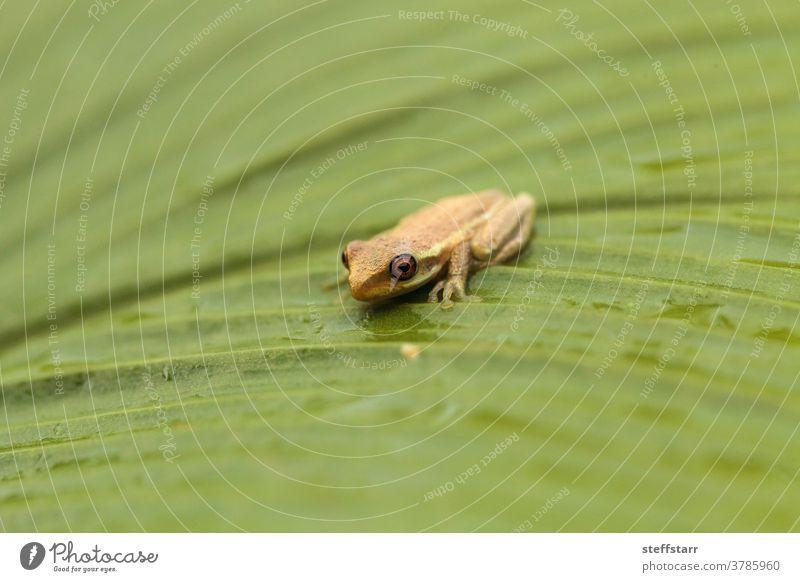 Kiefernwäldchen Baumfrosch Dryphophytes femoralis auf einem grünen Ingwerblatt Baby winzig Frosch Froschkuh Kiefernwälder Laubfrosch Amphibie