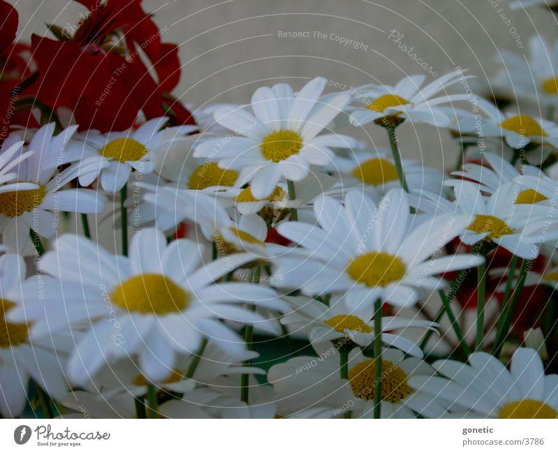 Mageriten Blume Margerite