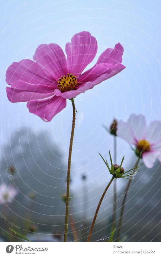 Schmuckkörbchen im Herbst Fiederblättrige Schmuckblume Kosmee Cosmea bipinnata Korbblütler Asteraceae Blume Blüte Natur herbstlich Pflanze