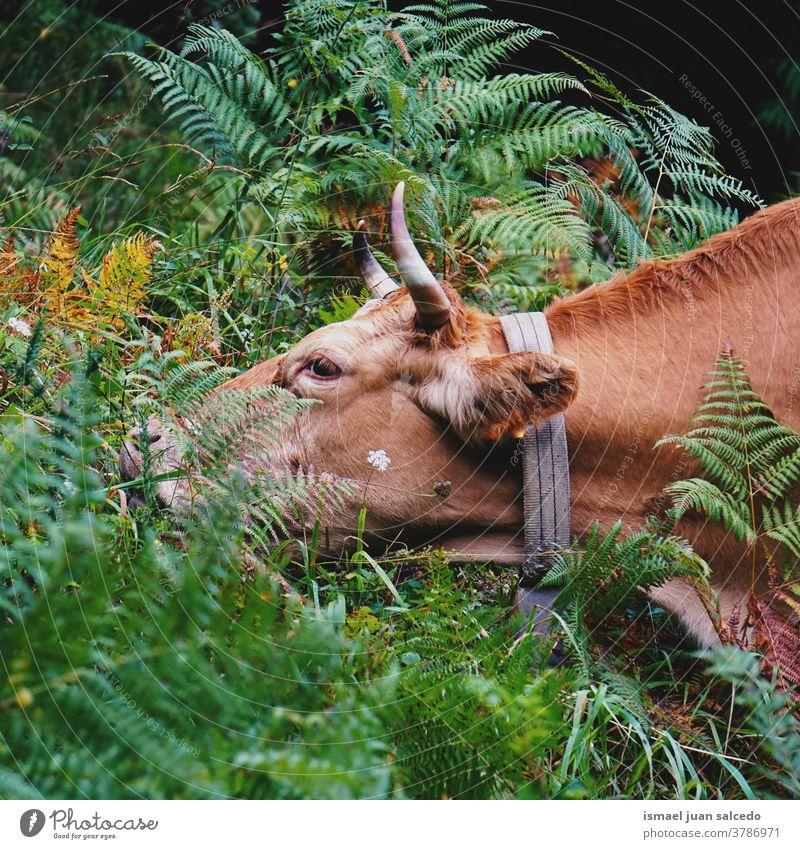 braunes Kuhporträt in der Natur Hörner Porträt Tier Weide Weidenutzung wild Kopf Tierwelt Auge Ohren Behaarung niedlich Schönheit elegant wildes Leben ländlich