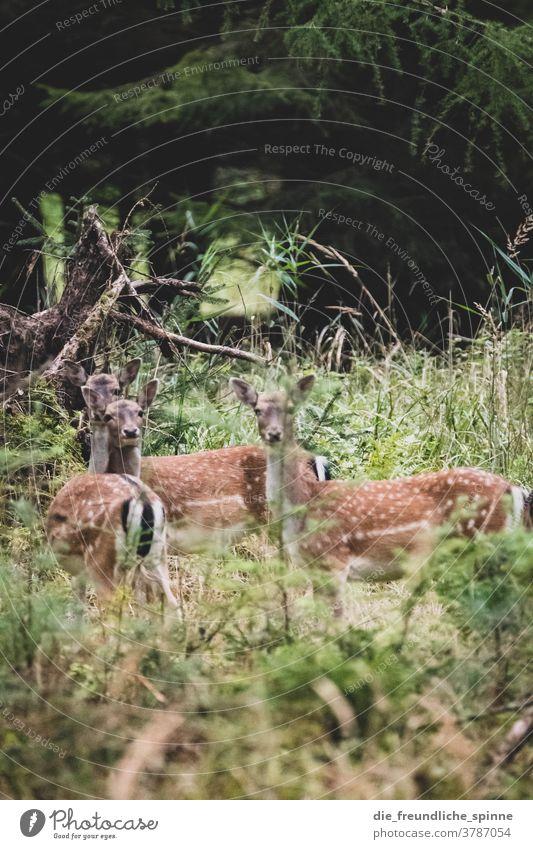 Rehe im Wald Brandenburg Herbst Parlow Tiere Ricke Blick Blick in die Kamera flecken Sprung Rehkitz Wildtier Farbfoto Außenaufnahme Natur Tierporträt