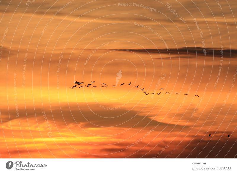 homebound Wolken fliegen Vogel orange elegant frei ästhetisch Beginn Zusammenhalt Vertrauen Fernweh Vogelflug Schwarm Kranich Trieb Formation