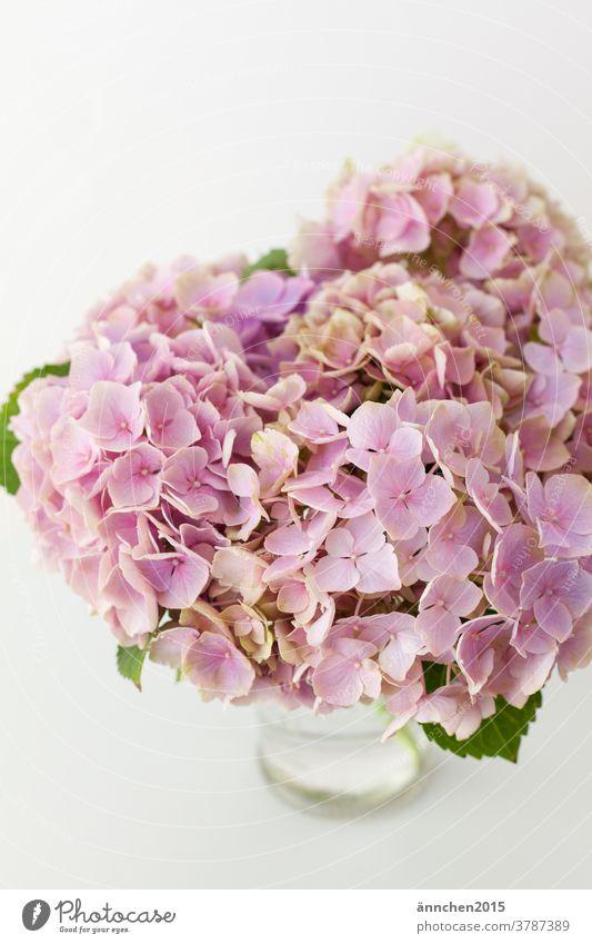 helle pinkfarbene Hortensienblüten in einer Glasvase Vase Blüten Sommer Herbst rosa blühend Dekoration Strauß grün grüne Blätter Natur Hell menschenleer weiß