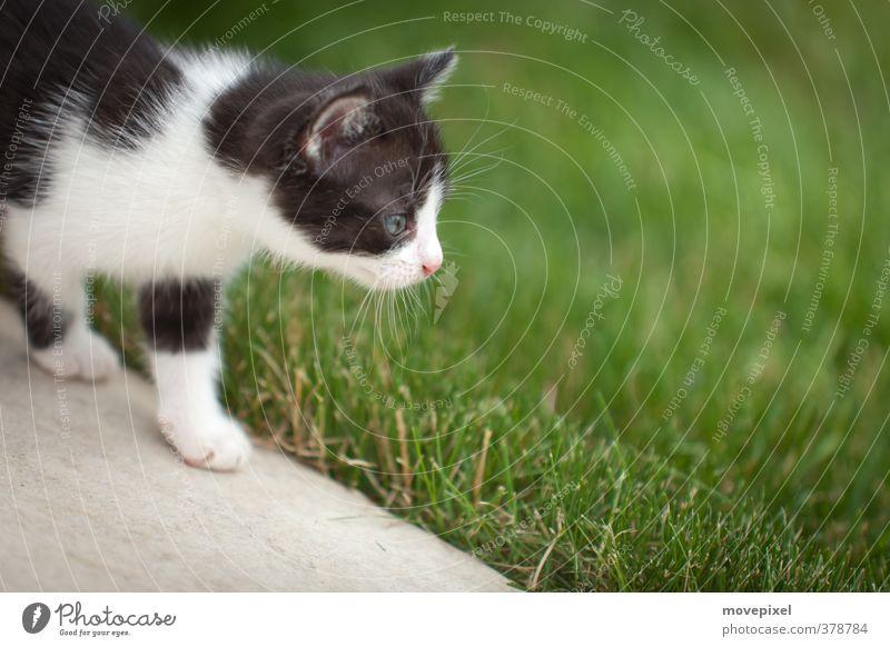 kleine Katze geht auf Entdeckungsreise Garten Wiese Haustier 1 Tier Tierjunges entdecken gehen Neugier Tapferkeit Interesse Streuner Mäusejäger Farbfoto