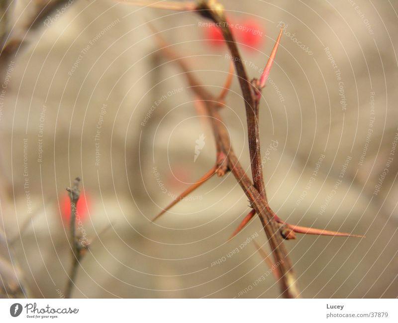 Dornen Sträucher stachelig gefährlich Unschärfe braun rot Beeren Früche Spitze Stachel bedrohlich Detailaufnahme Scharfer Gegenstand