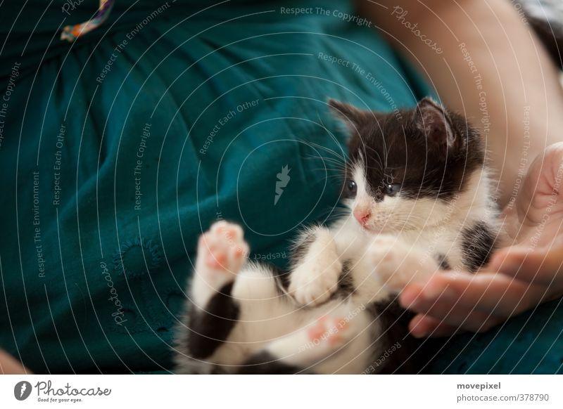 Marzipanpfötchen Haustier Katze 1 Tier Tierjunges liegen kuschlig Geborgenheit Fürsorge Mäusejäger Hauskatze Mietzekatze Marzipan Pfötchen Farbfoto Tag