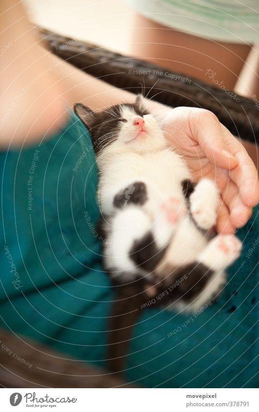 Mittagsschläfchen Häusliches Leben Sommer Haustier Katze 1 Tier Tierjunges schlafen Zufriedenheit Geborgenheit Erholung träumen Mietzekatze Müdigkeit