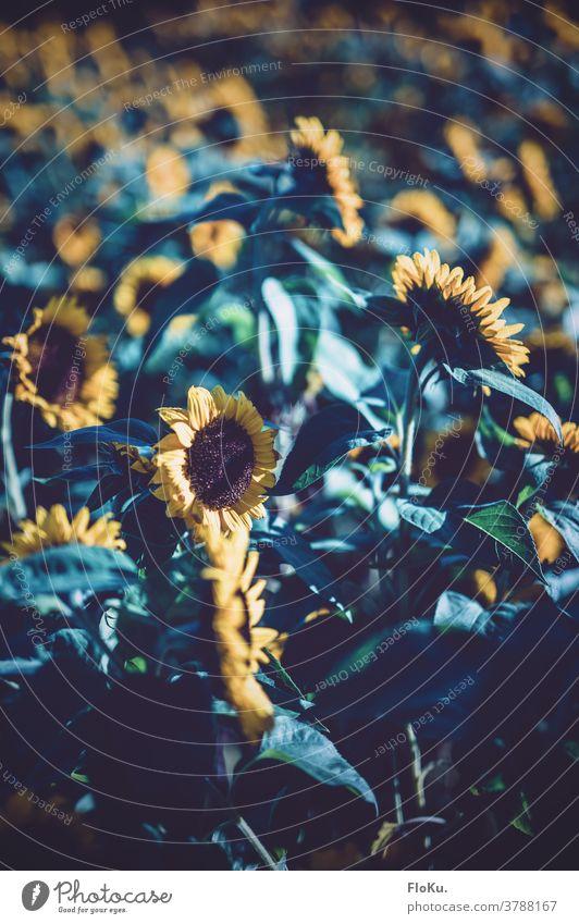 Sonnenblumen im kalten Morgenlicht Sommer Blühend Blume Spätsommer Natur Blüte Pflanze Umwelt Feld Nutzpflanze gelb Wachstum Sommerblumen Sommerblumenbeet