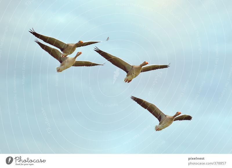 Wildgänse im Flug Tier Wolken Wildtier Vogel Graugans Wildgans 4 Schwarm fliegen frei blau grau Freiheit Umweltschutz Gans Zugvogel Himmel fliegend
