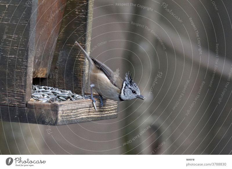 Haubenmeise bei der Vogelfütterung Wintervogel Tier Zweigstelle Niederlassungen kalt Textfreiraum Federn Fliege Lebensmittel Wald Kohlmeise vereiste Äste