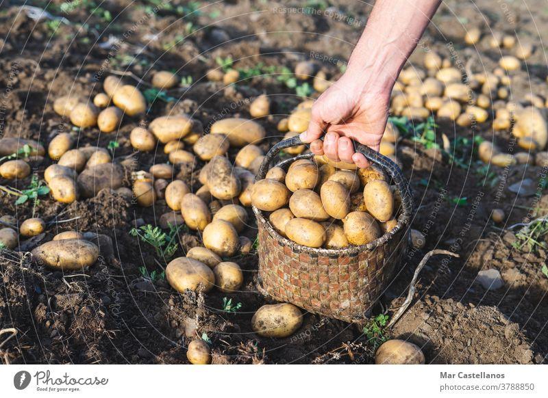 Mann pflückt Kartoffeln auf dem Bauernhof. Landwirtschaftliches Konzept. Ackerbau Ernte abholen herausnehmen Korb ländlich Knolle Lebensmittel Zutaten Menschen