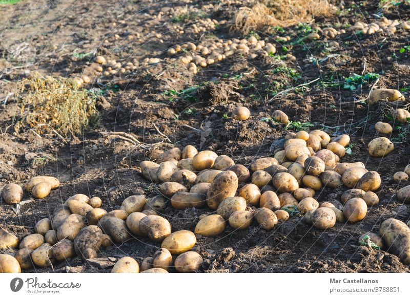 Kartoffeln in den Boden geworfen. Landwirtschaft. Ackerbau Ernte abholen herausnehmen ländlich Bauernhof Knolle Lebensmittel Zutaten organisch nachhaltig Haufen
