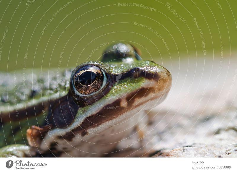 was´n hier los... Wildtier Frosch Tiergesicht Amphibie 1 kalt braun grün weiß Makroaufnahme Textfreiraum oben Schwache Tiefenschärfe Froschperspektive