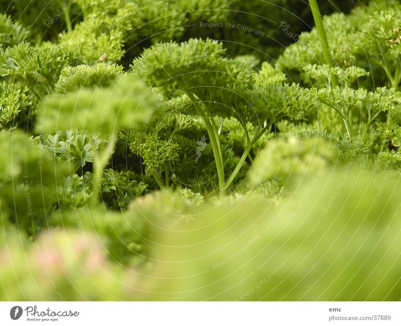 peterli Natur grün Salat
