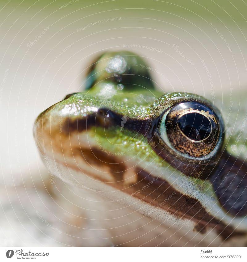 Tier I Ich seh dich Natur Wasser Sommer Teich Wildtier Frosch 1 dick klein muskulös Neugier schleimig braun grün schwarz silber achtsam ruhig einzigartig