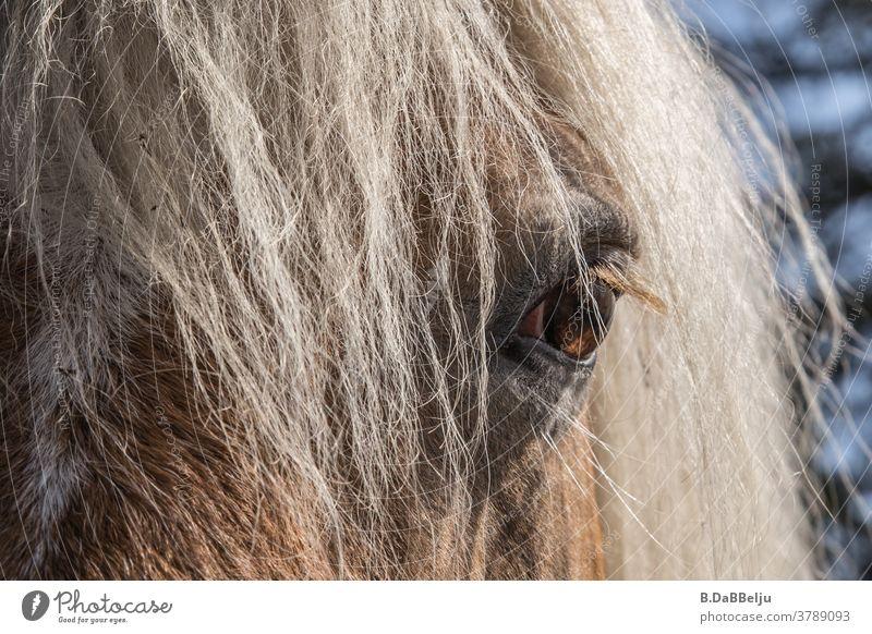 Im Auge des Haflingers. Die blonden Pferde - Schönheiten der Alpen. Meran Tirol Pferdekopf Mähne Berge u. Gebirge Tier Tierporträt blonde Mähne Ponys Natur