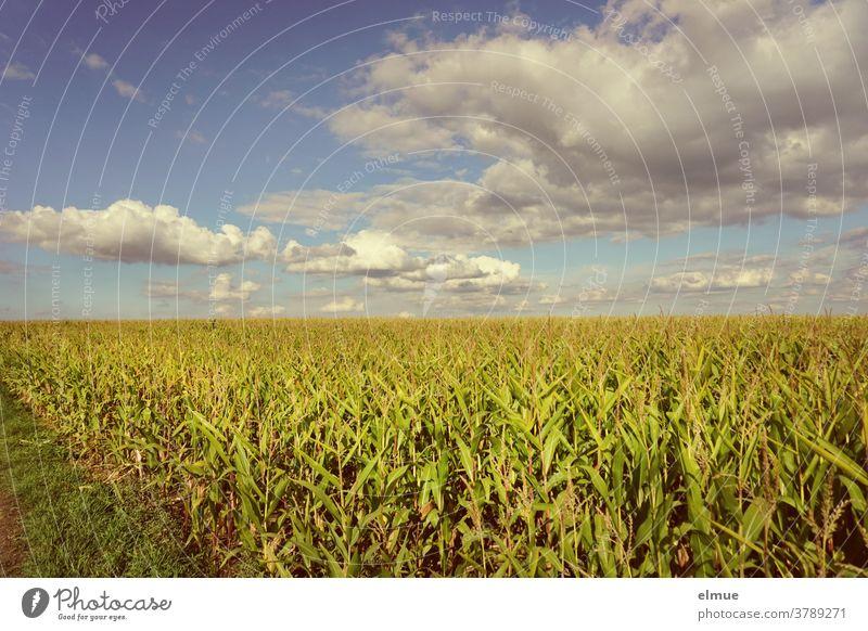 Blick vom Feldrain aus auf ein Maisfeld im Spätsommer mit vielen Schönwetterwolken und Sonnenschein Dekowolken Ackerbau Feldbau Getreide Getreidefeld Reife