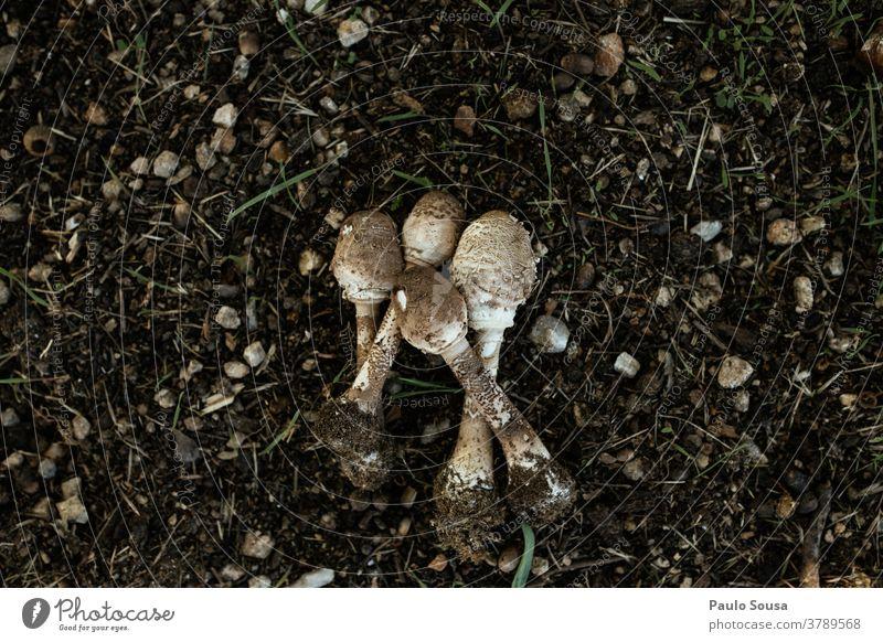 Speisepilz Macrolepiota procera Makrolepiota procera Pilz Moos Ernährung Pflanze Pilzhut Außenaufnahme Herbst Farbfoto Natur Lebensmittel essbar Wachstum