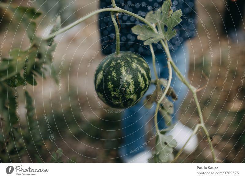 Kind hält kleines Wassermellon Wassermelone Nahaufnahme Frucht saftig süß frisch lecker Lebensmittel Farbfoto Bioprodukte Gesundheit Herbst authentisch