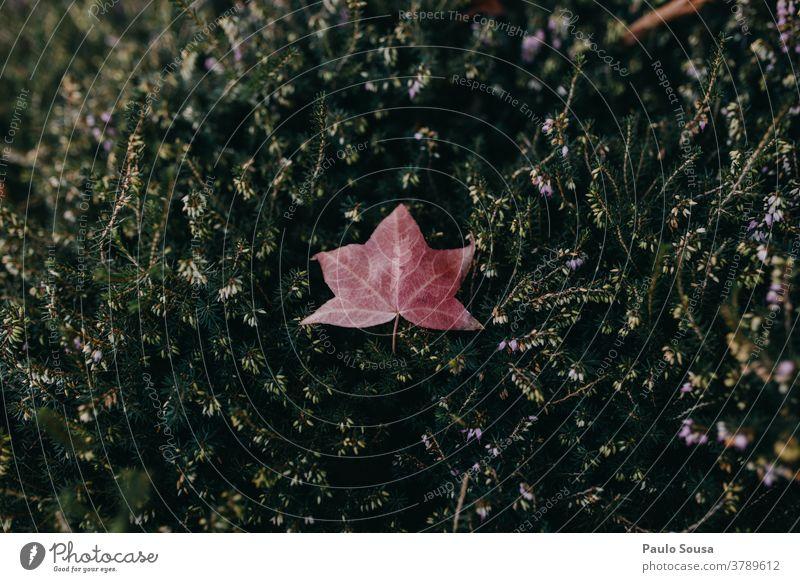 Isoliertes Blatt auf Grün Laubbaum Blätterdach Natur Herbst Weihnachten & Advent fallen herbstlich Herbstlaub Herbstfärbung Jahreszeiten Menschenleer mehrfarbig