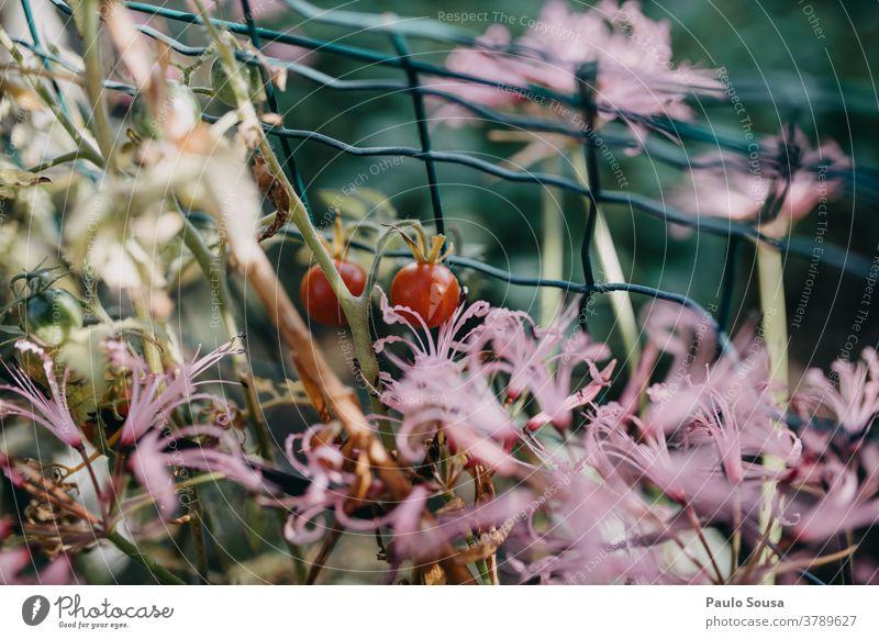 Nahaufnahme Tomate farbenfroh Farbe Blume Natur Hintergrund Schönheit Blütezeit Frühling natürlich Pflanze geblümt schön Überstrahlung Flora Blütenblatt grün