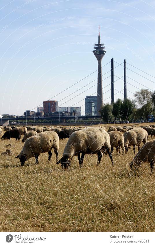 Schafherde weidet auf einem trockenen Feld in Düsseldorf, Deutschland Großstadt Tier Klima Klimawandel düsseldorf Umwelt Gras weiden Weidenutzung grün Herde