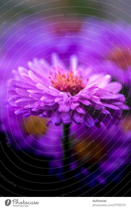 Macro Aufnahme einer lila Aster aster Astern violett Blume Blüte Blütenblätter Pollen Blütenstempel Pflanze Natur Nahaufnahme Garten Makroaufnahme Menschenleer