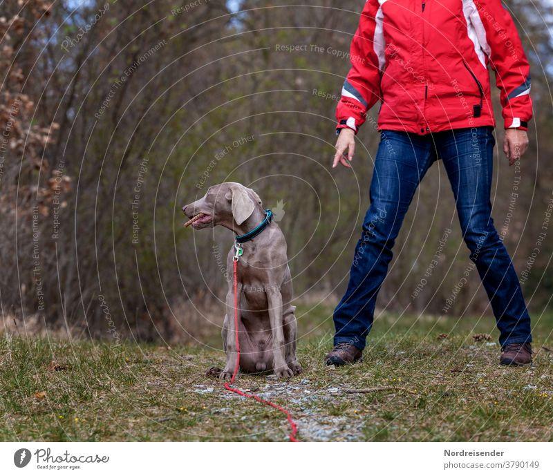 Ungehorsam und motzen eines Weimaraner Jagdhundes bei der Ausbildung frauchen ländlich ausbildung jagen körpersprache hundeschule welpenschule weimaraner welpe