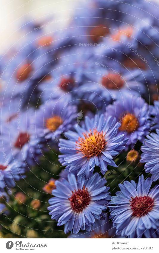 Macro Aufnahme eines Busches mit Aster Blumen aster Astern lila violett Blüte Blütenblätter Pollen Blütenstempel Pflanze Natur Nahaufnahme Garten Makroaufnahme