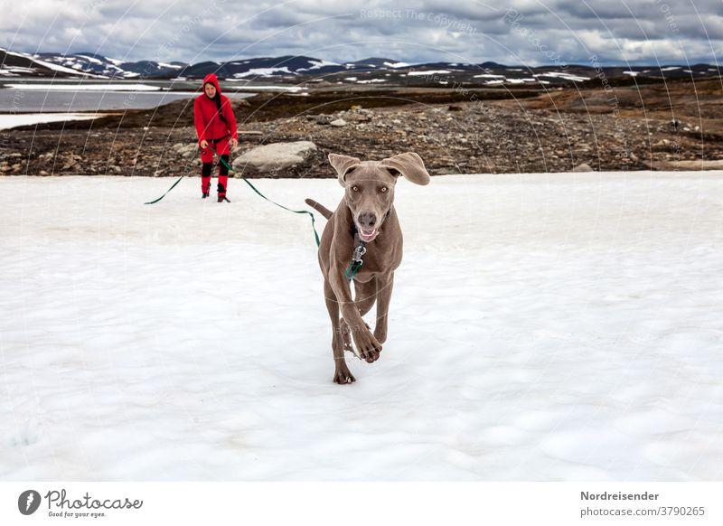 Junger Weimaraner spielt und tobt im Schnee jagen ausbildung hundeschule welpenschule niedlich glücklich freiheit aufzucht lernen spielen ausgelassen rassehund