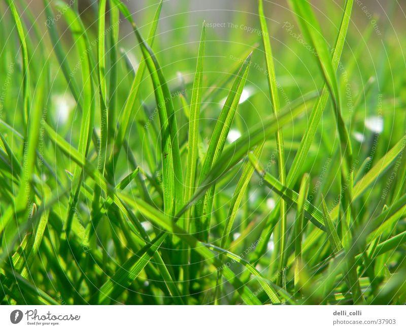 Grünes Gras im Frühling grün Wiese grasgrün Sonne Rasen