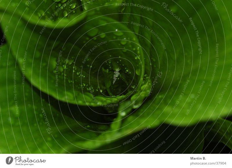 Green Pflanze grün nass Regen Seil Garten Makroaufnahme