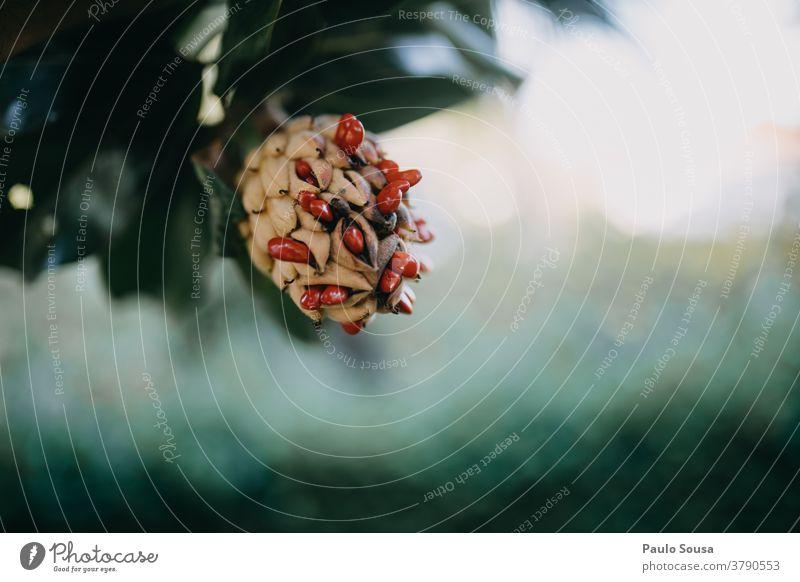Nahaufnahme der Magnolienfrucht mit roten Samen Magnoliengewächse Magnolienblüte Magnolienbaum Saatgut Blüte Baum Farbfoto schön Außenaufnahme Pflanze Frühling