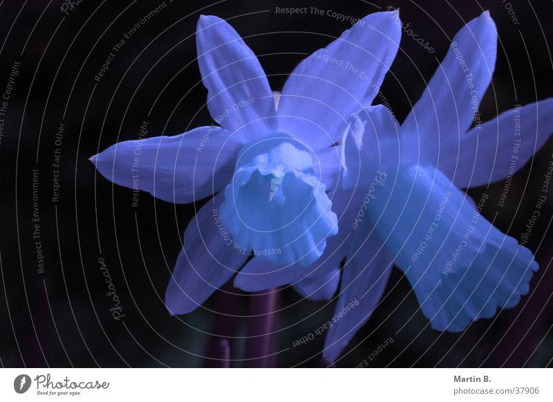 Blaue Ostern blau Blume gelb Blüte Gelbe Narzisse Narzissen