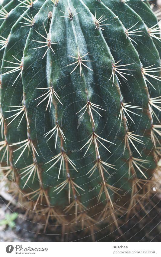 kaktus Kaktus grün Pflanze Dornen spitz Stachel Botanik stachelig exotisch Schmerz gefährlich stechen Wüste bedrohlich Zimmerpflanze Botanischer Garten