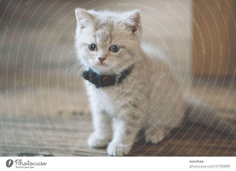 kleiner süßer kater Katze Kater jung Kitten Katzenbaby niedlich Tiergesicht Fell British Rassekatze Britisch Kurzhaar Haustier Tierporträt Hauskatze Tierjunges