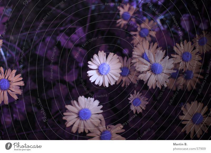 Gänseblümchen Blume Blüte Sommer weiß Pflanze Garten Rasen