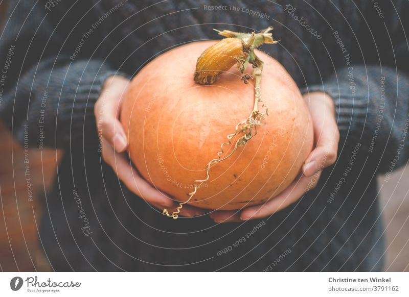 Orange Speisekürbis in den Händen einer jungen Frau. Nahaufnahme mit dunklem gestricktem Wollpullover im Hintergrund Kürbis speisekürbis Halloween orange