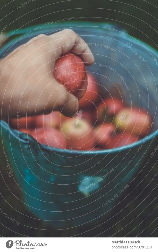 Apfelernte Eimer sammeln Herbst herbstlich Landwirtschaft ernten Ernte Frucht Lebensmittel Außenaufnahme Bioprodukte Biologische Landwirtschaft bio Gesundheit