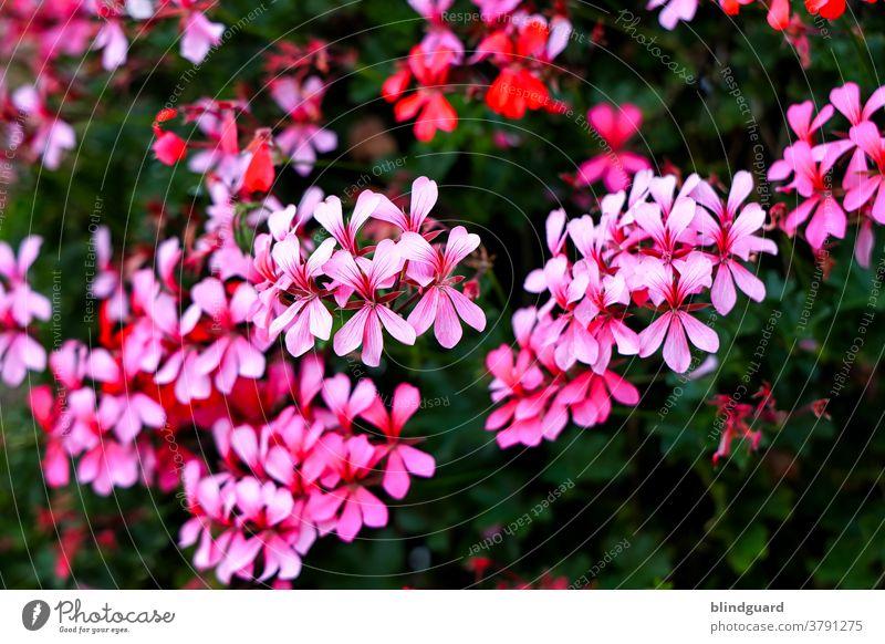 Ei des sin aafach nur rosarode Blümscher im Gadde Blume Blumen schön Blütenblätter Natur Flora Schönheit Frühling Blütezeit Garten Pflanze Blütenblatt natürlich