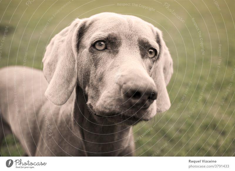 Porträt eines Weimaraner-Hundes auf dem Rasen. Sepia-Ton-Fotografie. Tier Haustier Welpe Eckzahn niedlich grau braun züchten Labrador Kopf vereinzelt Reinrassig