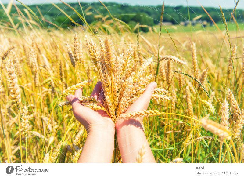 Weizen in den Händen Feld Hand Ackerbau Korn Natur Landwirt Ernte grün Wald Bäume Bauernhof ländlich gold Sommer Hintergrund Gerste Ohren Wachstum gelb